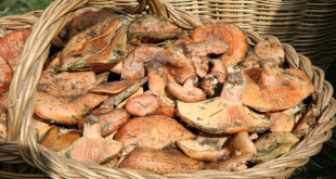 Alaró Mushrooms Gastronomic Fair